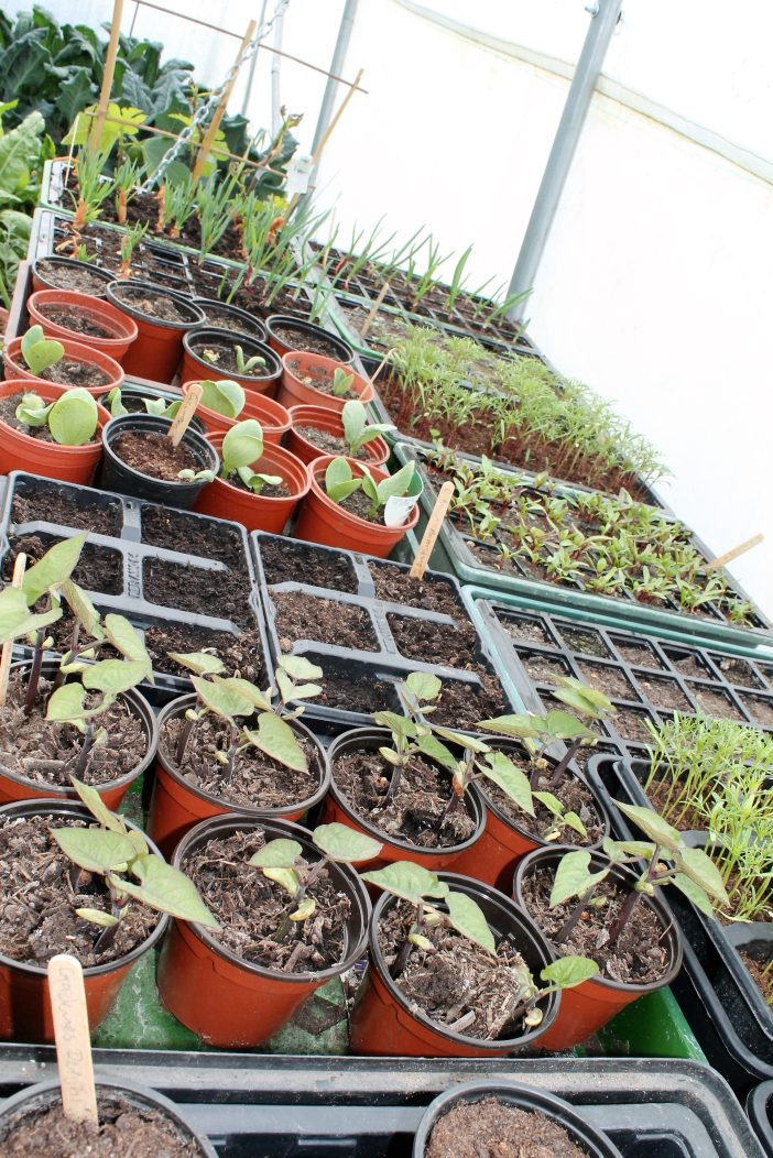 the polytunnel seedlings in April