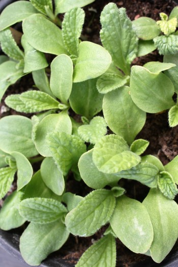 Borage seedlings