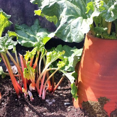 Rhubarb in May