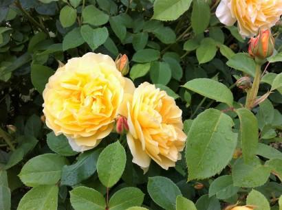roses at LN