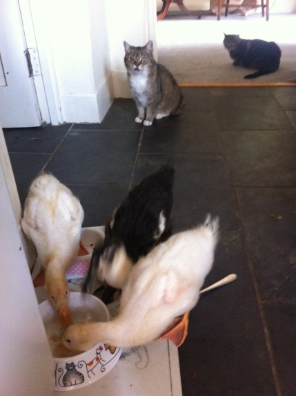 ducklings eating the cats food