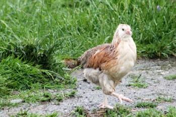 chicks first rain shower