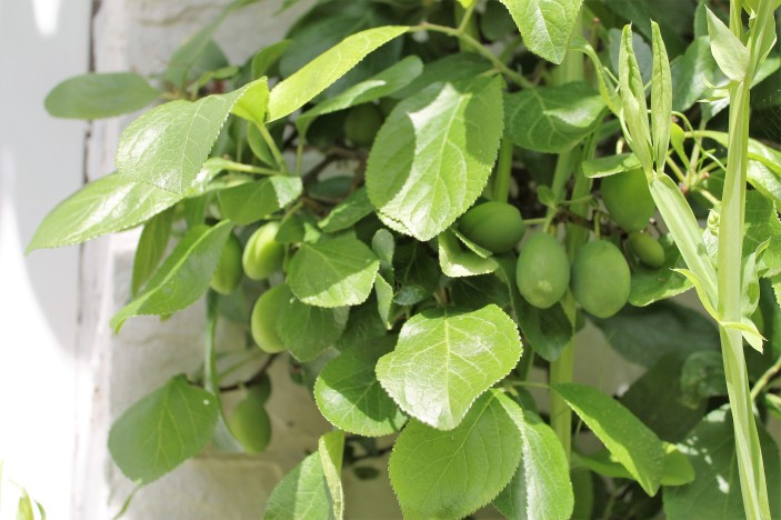 victoria plum tree