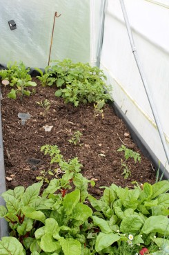 polytunnel bed in june