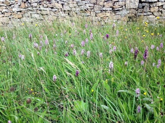 field of wild orchids