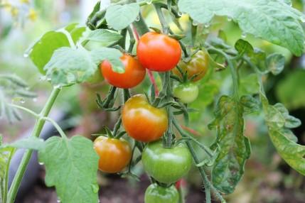 Shirley Tomatoes
