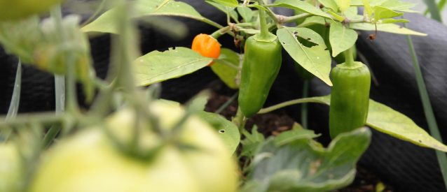 peppers in the polytunnel