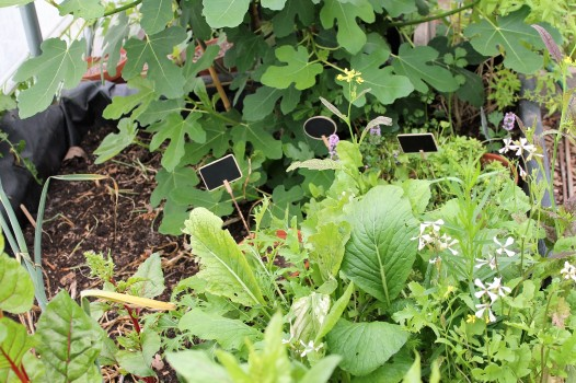 herbs in the polytunnel