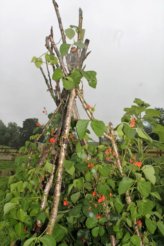 Armstrong runner beans in July
