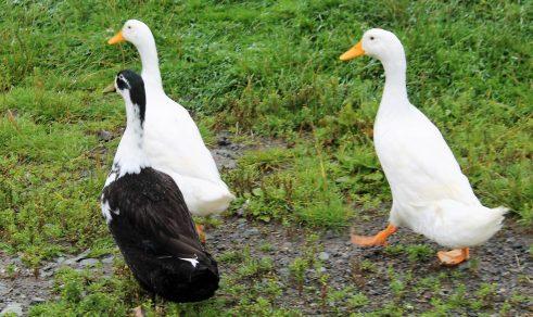 the 3 duckateers