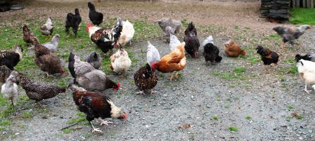 chickens in July