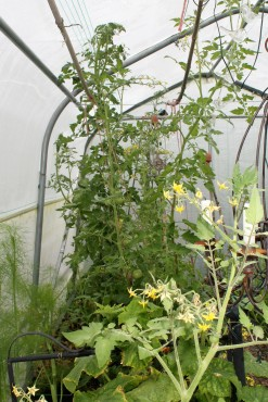 polytunnel in august