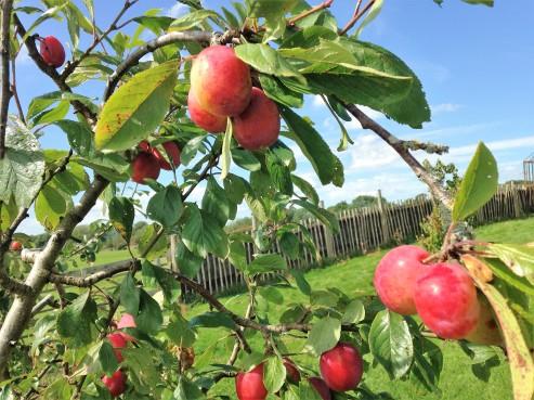 plum tree in the garden