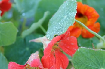nasturtium in october