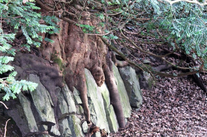 yew tree roots