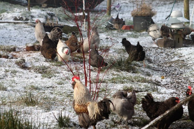 Chickens in Feb