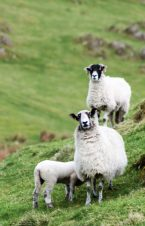 Lakeland sheep