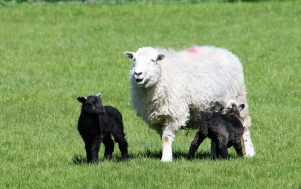 Herdwick sheep and her lambs