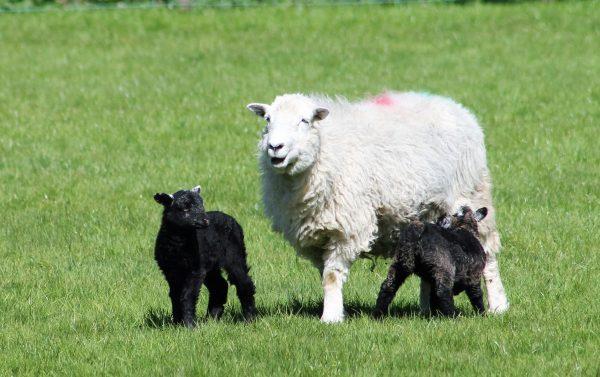Herdwick sheep and her lambs