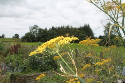 fennel in the pottager